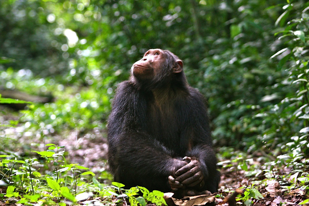 Chimpanzee tracking Kyambura