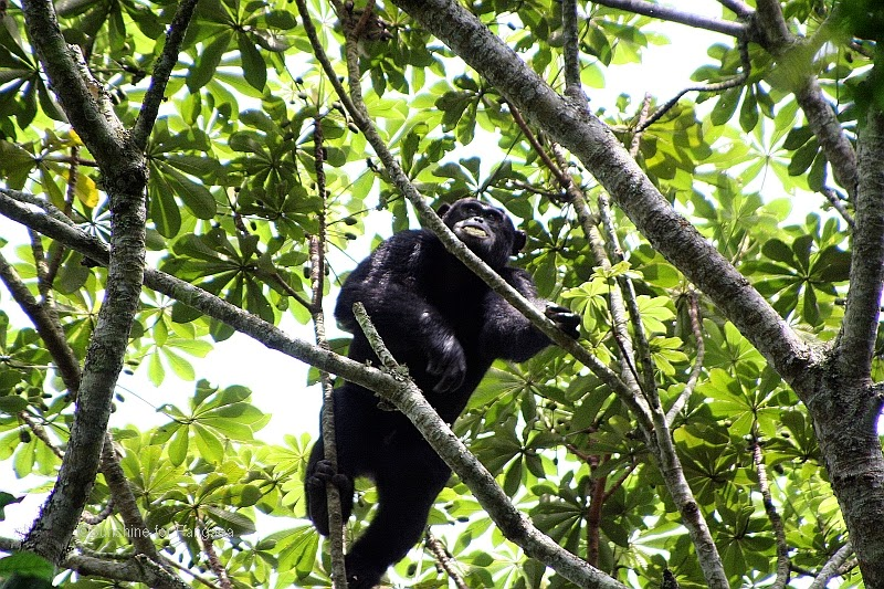 Kalinzu forest chimp